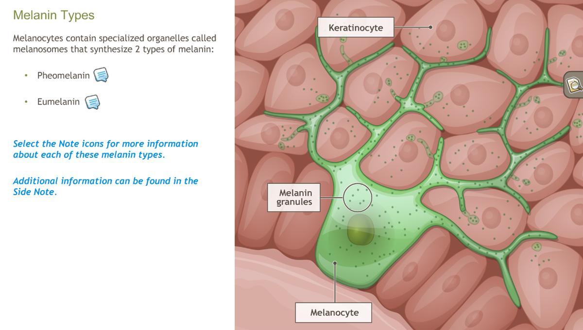 Understanding the Anatomy of the Skin