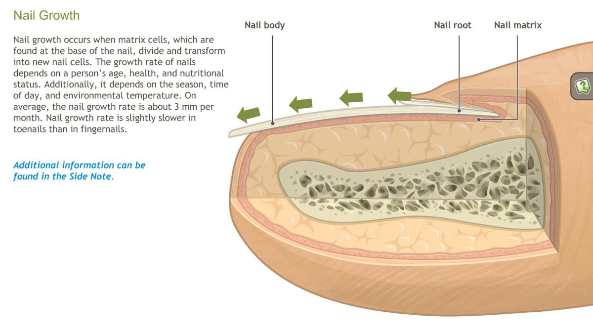 Vistoso Anatomy And Physiology Of The Nail Motivo - Imágenes de ...